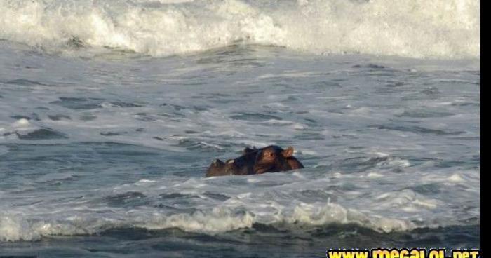Invasion d hippopotame