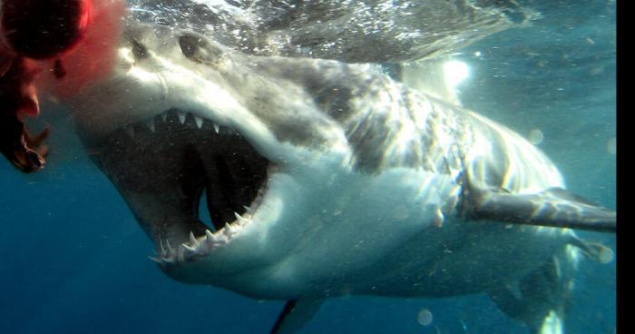 Une requin blanc a Marseille
