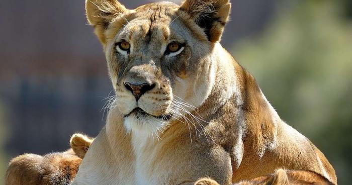 La lionne enfin approchée !