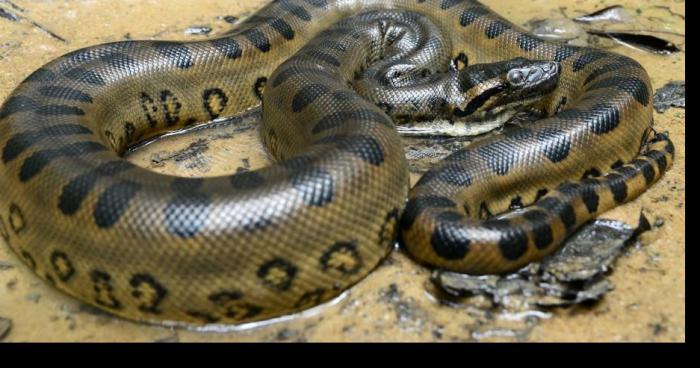 Anaconda dans le Boudigau
