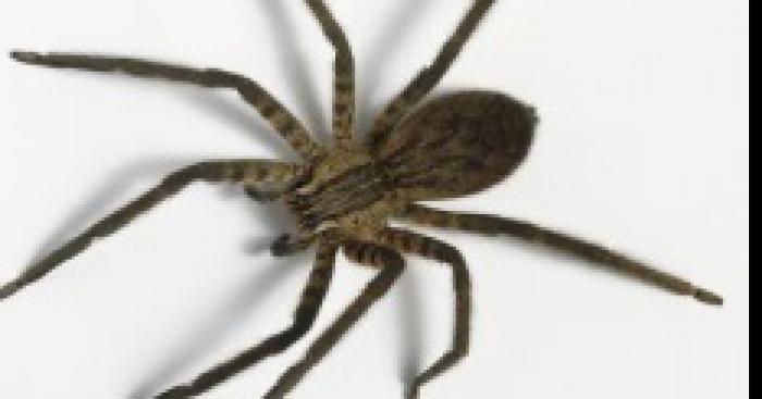 Une nouvelle race d'araignée terrorise le Poitou-Charantes