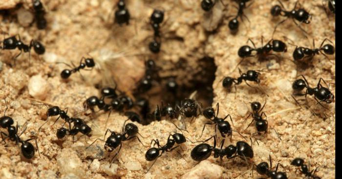 Insolite. Invasion de fourmis dans le village de Mions 69780