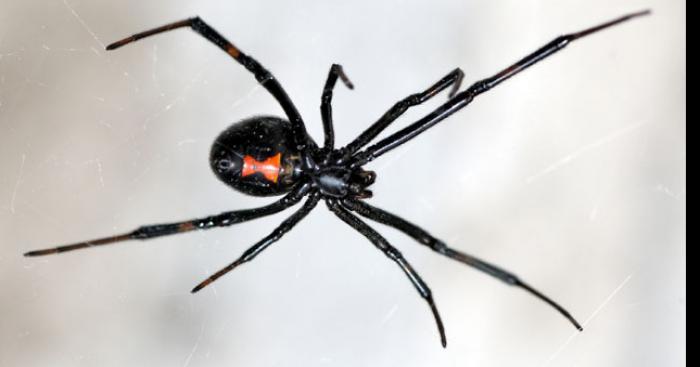 L'araignée dangeureuse a Lens