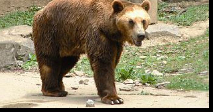 Panique à Romans sur Isère, un ours attaque !