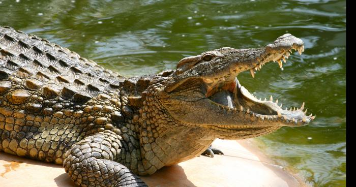 Un crocodile aperçu dans l'eau Sillé Le Guillaume