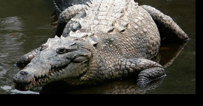 Crocodile découvert dans le Lac Léman